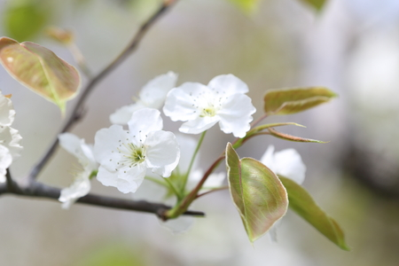 pear tree: Close up to the flowers on a pear tree Stock Photo