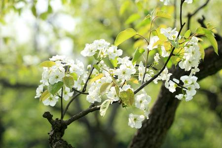 florescence: pear flowers