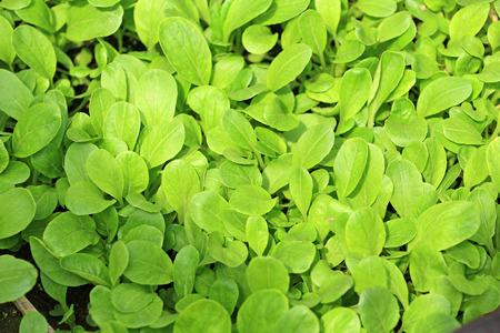 food hygiene: Leafy green vegetables
