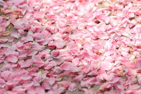 natural phenomena: Withering Begonia petals