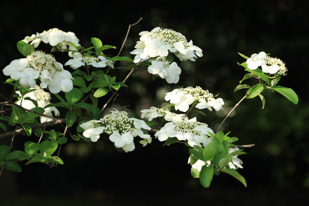 viburnum: Viburnum sargentii var.calvescens. Stock Photo
