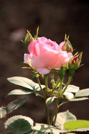rose garden: Chinese rose
