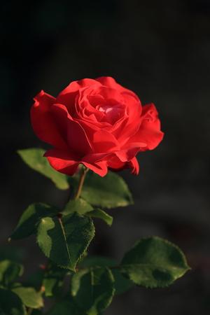 red rose bokeh: Chinese rose