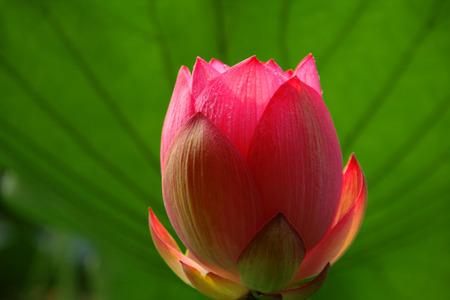 gules: Lotus