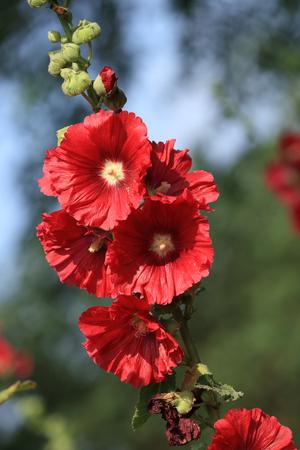 rosea: Alcea rosea