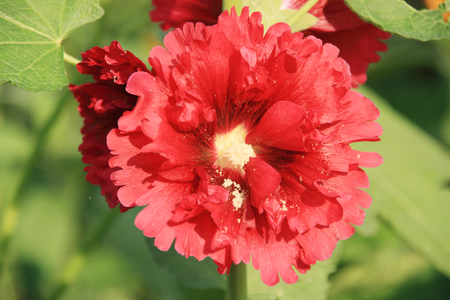 hollyhock: Hollyhock Stock Photo