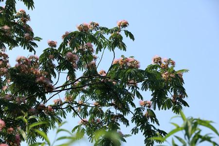 aralia: silk tree Stock Photo