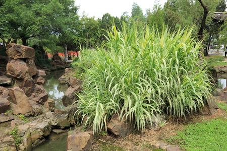 aquatic herb: Giant reed
