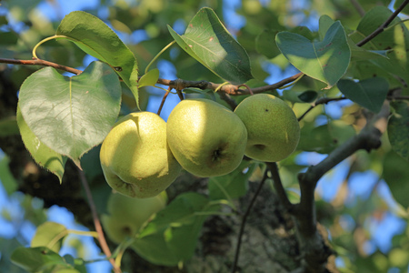 pear tree: pear tree