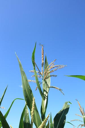 planta de maiz: Close up to a maize plant Foto de archivo