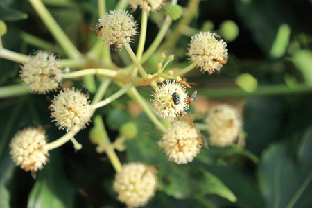 Close up of Fatsia japonica with flies Stock Photo