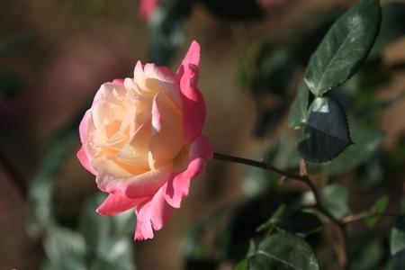 gules: Chinese rose