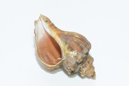 The conch shell Stock Photo