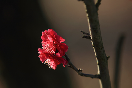 Plum flower close up view