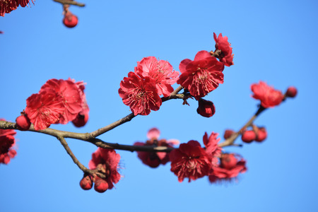 Plum flowers close up view