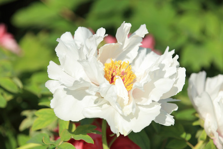 herbaceous: Peony flower Stock Photo