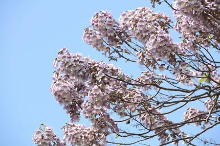 Paulownia flower Stock Photo