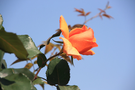 in full bloom: chinese rose