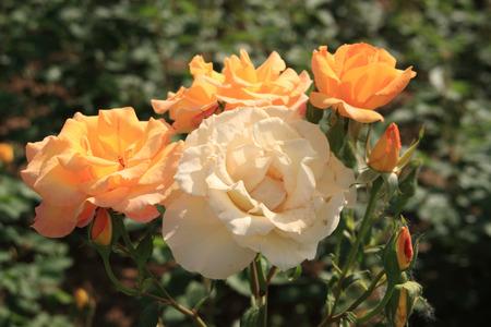 in full bloom: Gold medal, rose, rose