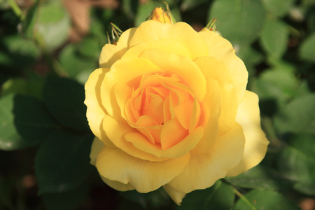 Golden Phoenix rose