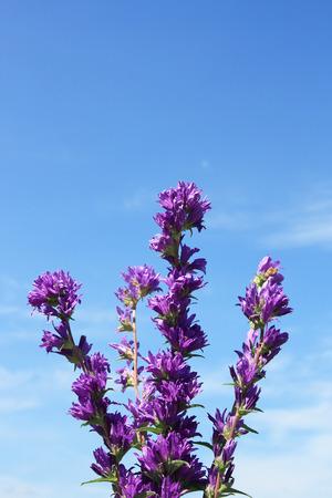 Campanula glomerata under the blue sky Stock Photo