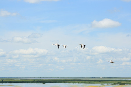 Bar headed goose flying in the sky Stock Photo