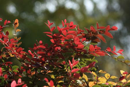 Red  Loropetalum flowers