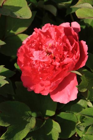 Peony flower Stok Fotoğraf