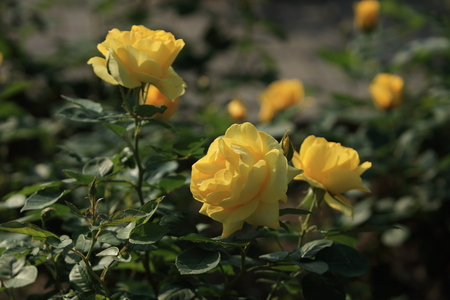 Golden Phoenix rose