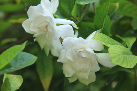 Gardenia flower Stock Photo - 102828490