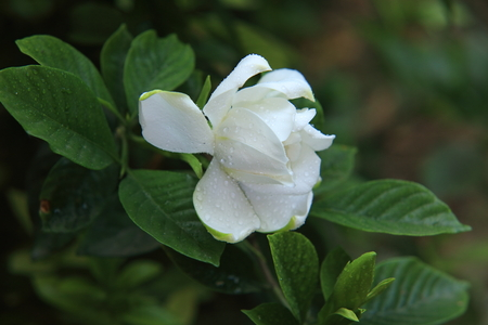Gardenia flower Stock Photo - 102828665