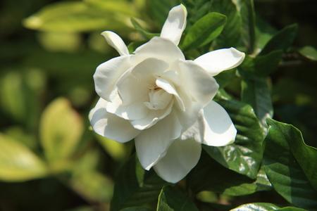 Gardenia flower Stock Photo - 103104354