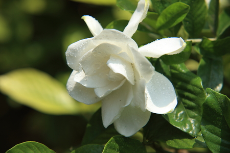 Gardenia flower Stock Photo - 103104357