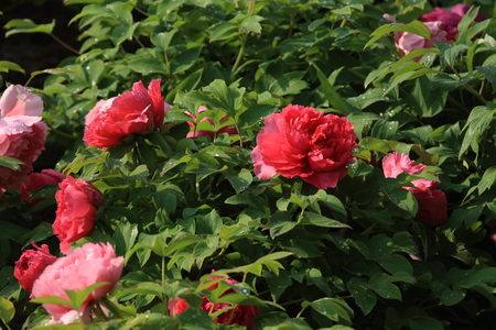 Peony blooming at garden Stock Photo