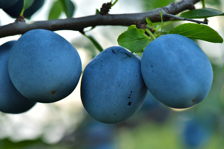 Plums on a tree branch. Summer Garden.