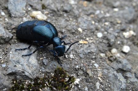 virulence: beetle meloe Stock Photo