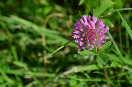 Red clover Stock Photo - 21651836