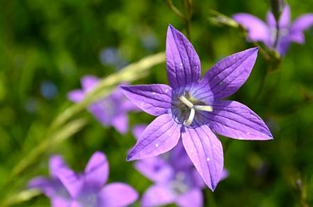 campanula: Campanula flower Stock Photo