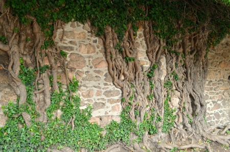 rooted: tree rooted in the wall Stock Photo