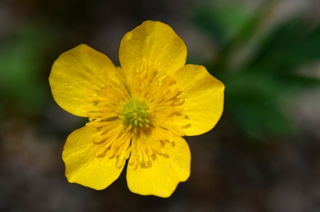 buttercup flower: Creeping Buttercup flower Stock Photo
