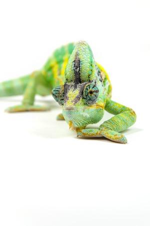 Yemen chameleon on white background. Front view.
