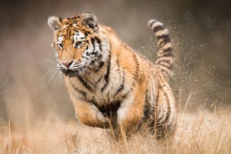 Siberian tiger_3 Banco de Imagens