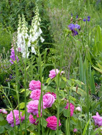 Jardin fleuri avec roses roses, iris et digitales Banque d'images - 81389967