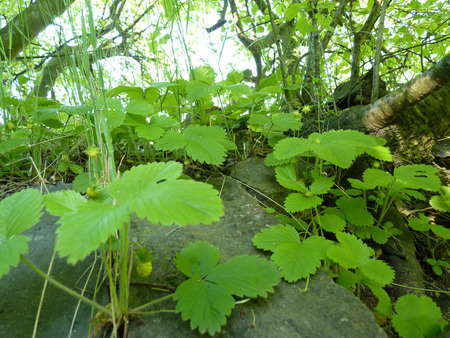 Close up macro detail of wild strawberry plants growing covering old shady stone wall in unmaintained garden. Stock Photo