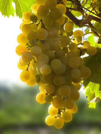 Close up macro of ripe golden grape cluster hanging on vine plant in vineyard.