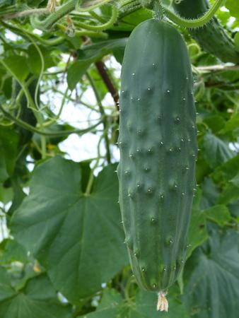 Chiuda sulla macro di affettare la frutta del cetriolo in serra di plastica.