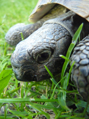 Close up macro detail of greek turtle tortoise head on the grass. Stock Photo
