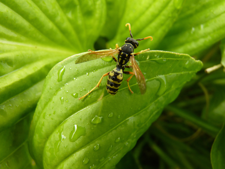 Macro closeup close up detail of rain wet wasp on hosta leaf.