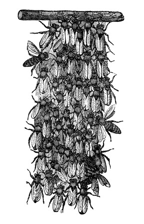 Antique vector drawing or engraving of grunge vintage illustration of swarm of honey bees or honeybees is together building new nest.From book Illustrierter Neuester Bienenfreund, printed in Leipzig, Germany 1852.