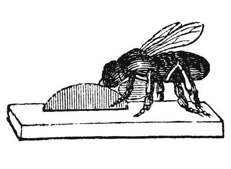 Dibujo vectorial antiguo o grabado de ilustración vintage grunge de abeja melífera o trabajador de abeja construyendo un nuevo nido o colmena de cera. Del libro Illustrierter Neuester Bienenfreund, impreso en Leipzig, Alemania 1852. Ilustración de vector